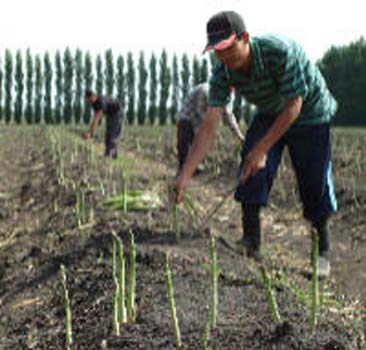the-proper-way-harvesting-asparagus